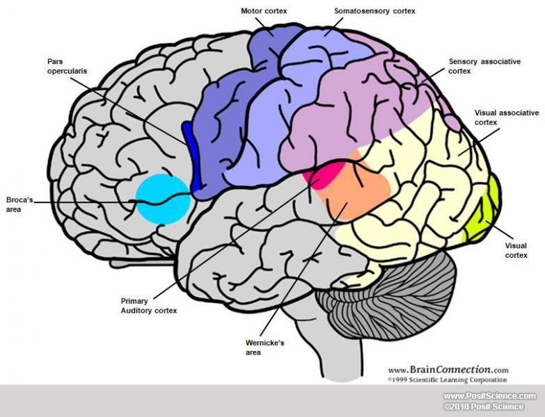 Brain anatomy image gallery dynamicbrain brain 2 ccuart Image collections