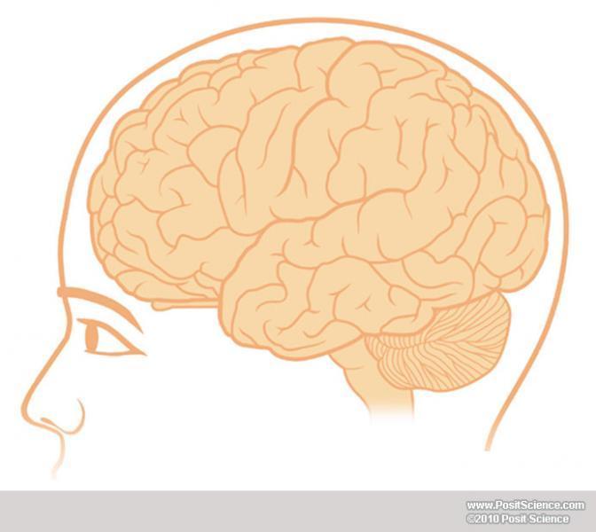 Brain Anatomy Image Gallery Dynamicbrain