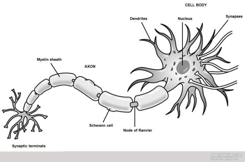 Brain Anatomy Image Gallery - DynamicBrain