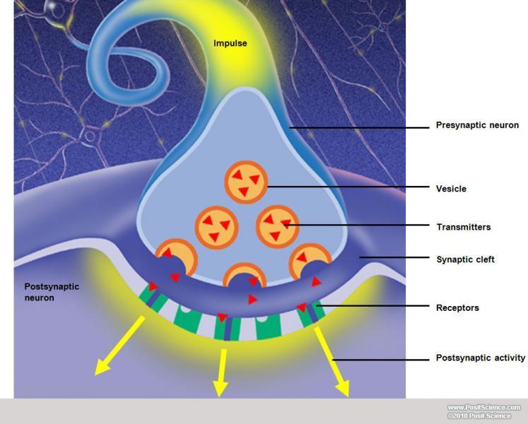 brain anatomy image gallery